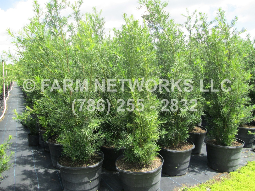 Podocarpus Broward Fl Nursery Llc 786 255 2832 We Deliver