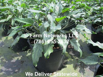 Clusia 7 Gallon Podocarpus Nursery Llc 786 255 2832 We
